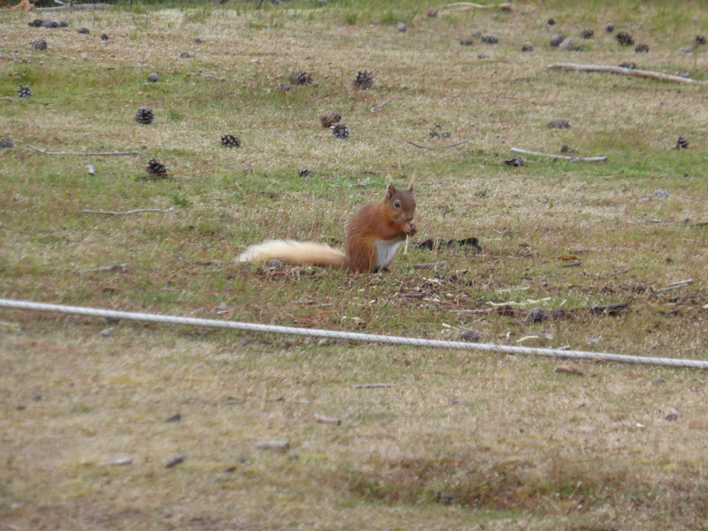 Red squirrel tidying up the spaghetti that escaped the Guides' colanders